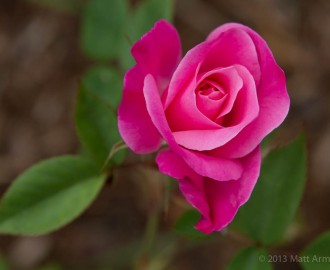 Tea Rose in hot pink