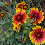 Arizona Sun Blanketflower