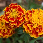Marigolds, the annual favorite for warding off bunnies.
