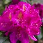 Rhododendron along the southeast corner of the house, under the maple tree