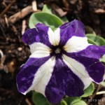 Aside from the magenta and green petunia, these purple and white striped petals are my favorites!