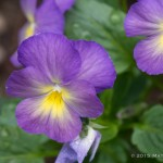 Viola - I had a great, great aunt named Viola. (And I've always preferred the sound of the Viola to the sound of the Violin). So I thought I should get some violas for my garden this year. Plus, they're pretty!