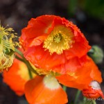 """Poppies - I have two varieties of poppies this year. This is the smaller variety. Plus, since I did """"The Wizard of Oz,"""" every time I walk past this plant I say """"Poppies!"""" out loud like the wicked witch."""