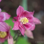 Columbine - I have three of these. I was hoping I'd get one of those blue-ish, purple-ish columbines, but the pink is nice too.