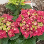 Hydrangea - I suspect, if left to my own devices, I would turn my entire property into a hydrangea farm. I just love these things. And this bright raspberry red color with green centers is cool.