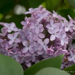 Lilac - I freakin' love lilacs. Before I moved in, one of my nosy neighbors decided she didn't like the lilac bushes blocking her view of the street so she chopped the hell out of them.  As a result, they didn't flower at all last year. There are only a few flower clusters this year, but next year, they should be back to covered. And if she tries to take over my pruning responsibilities, I may have to beat her down.