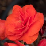 Mocha Deep Orange Begonia