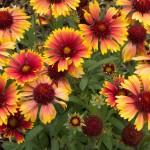 Arizona Sun Blanket Flowers