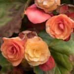 Begonia type #1