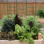 Lettuce, Kale, Chard, Peas, and Beets. I may have over-planted this box...