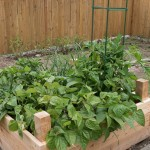 Purple string beans, tomatoes, peppers, and onions.