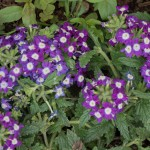 This is my first year planting verbena. It's a pretty ground cover plant.