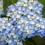 The hydrangeas are fully in bloom now.